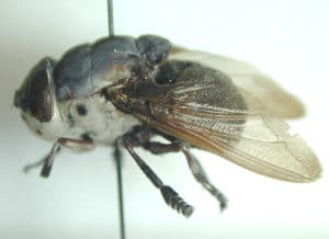 This is an example of the adult cuterebra fly.